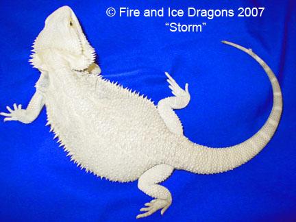 kingsnake.comphoto gallery > Bearded Dragons > Leucistic x ...