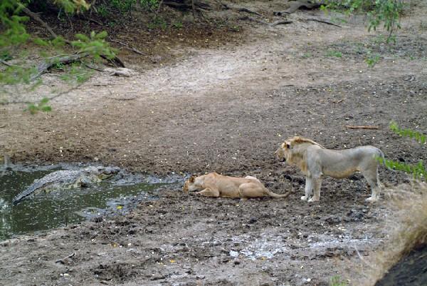 kingsnake.comphoto gallery > Crocodilians > Lion Vs. Crocodile