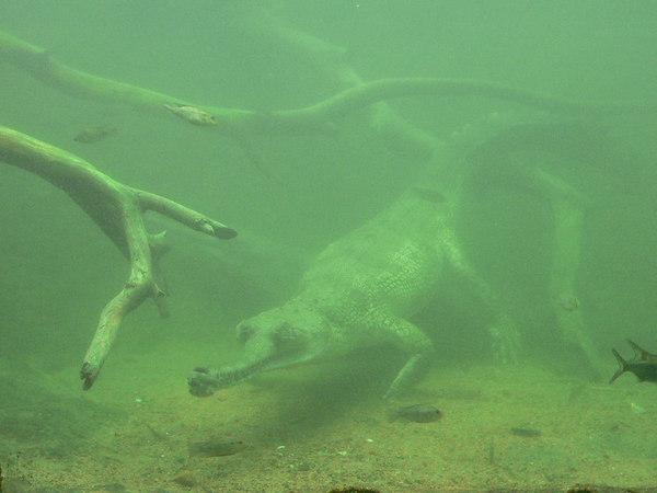 Underwater Gharial