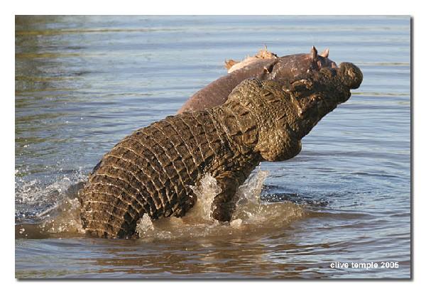 Crocodile Ripping Hippo