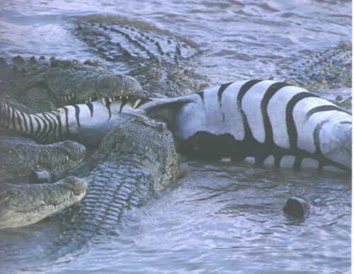 Nile crocodile eating zebra - photo#21