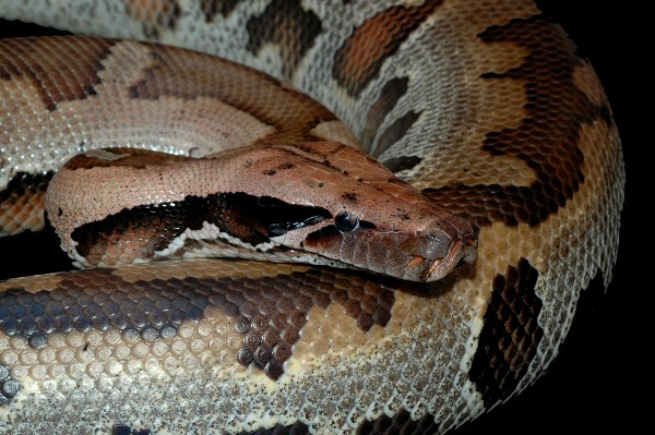 Blonde blood python, uploaded by kingsnake.com user jsignoretti