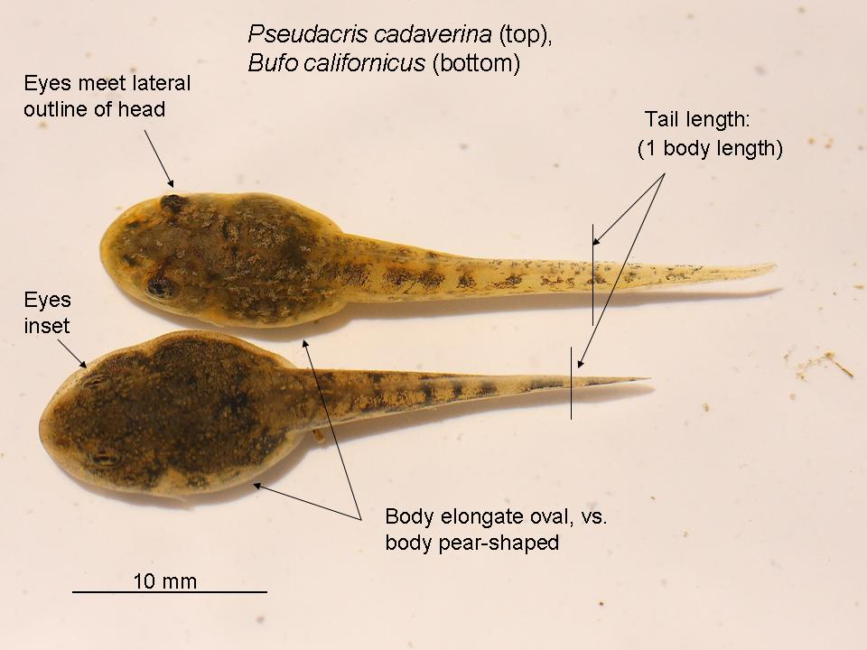 view topic tadpole help d chicken smoothie : tadpole diagram - findchart.co