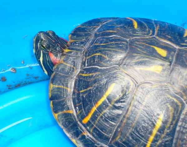 Central Texas Red-eared Slider