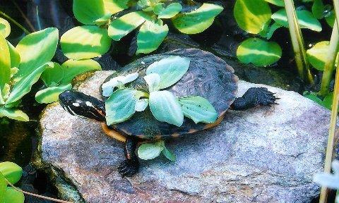 Painted Turtle, uploaded by kingsnake.com user terryo