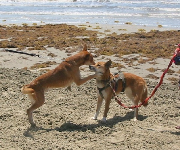 Dingo X (on right) and look-alike friend