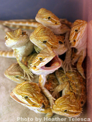 Bearded Dragons, uploaded by kingsnake.com user Snakeskii