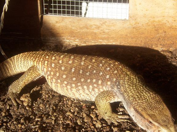 Savannah monitor paint 2