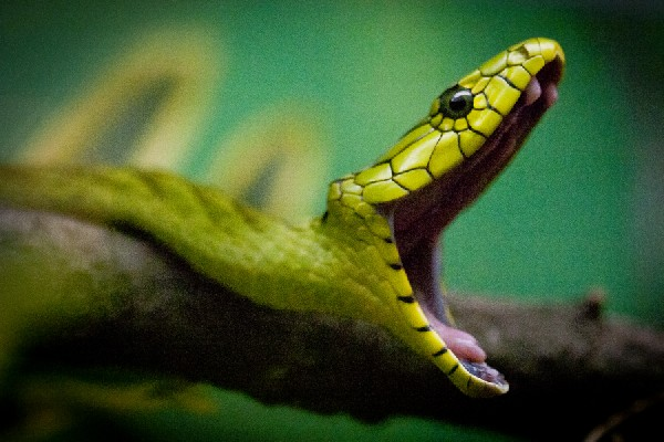 Western Green Mamba, uploaded by kingsnake.com user fangfatale