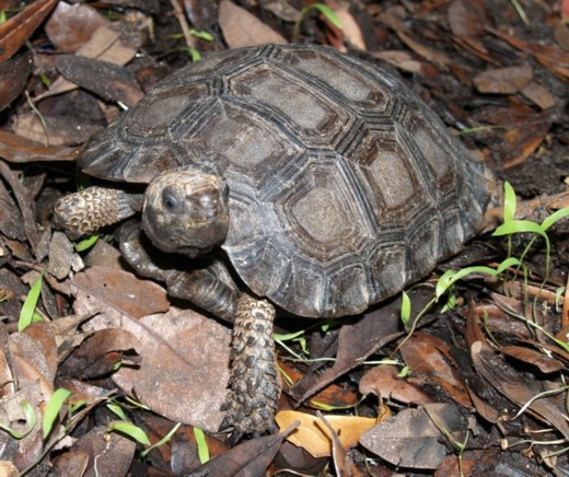 Tortoise, uploaded by kingsnake.com user emysbreeder