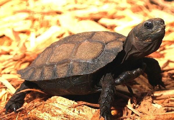Burmese Black Mountain Tortoise   uploaded by kingsnake.com user emysbreeder