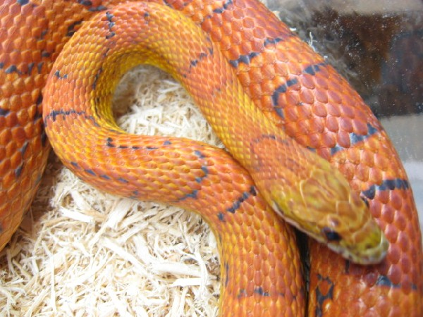 Corn Snake, uploaded by kingsnake.com user BeattyReptiles