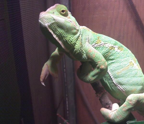 Female Veiled Chameleon