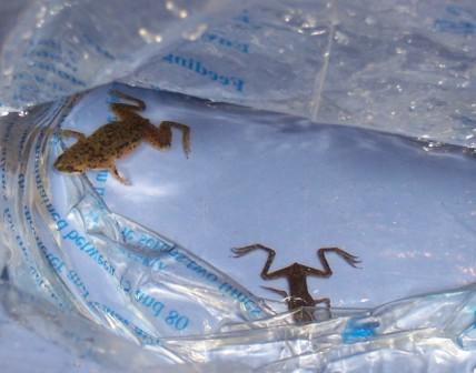2 African Dwarf frogs