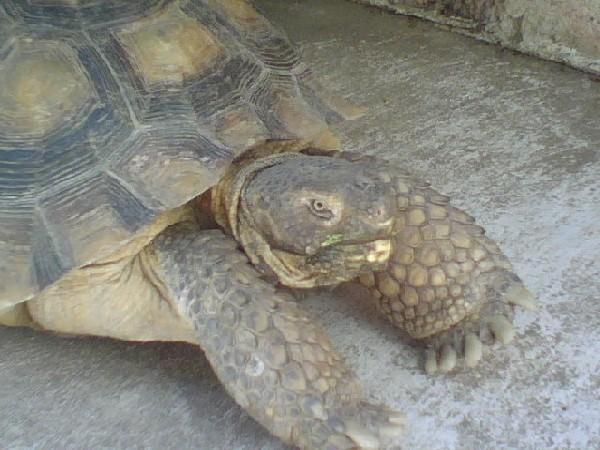 Desert Tortoise Relaxing