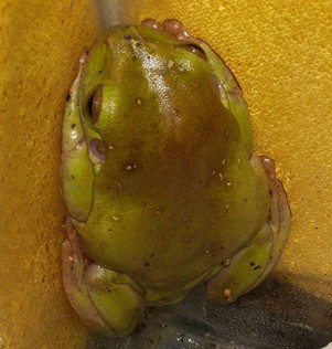 White tree frog #1