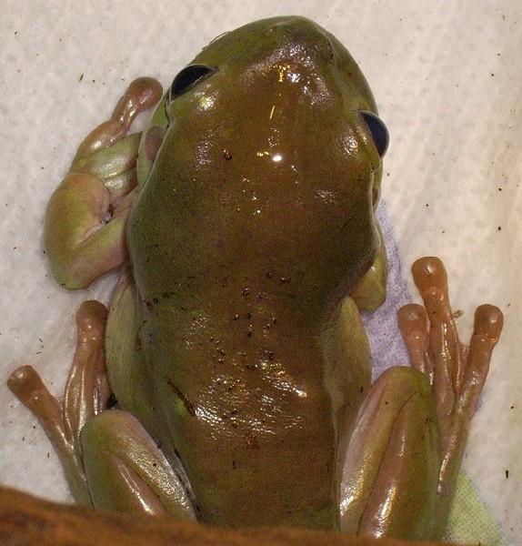 White's tree frog #2 different pic