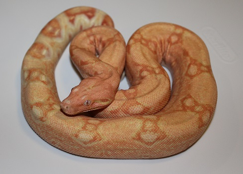 Boa Constrictor, uploaded by kingsnake.com user mpollard