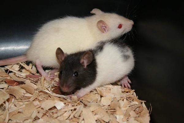 Rodent Pro