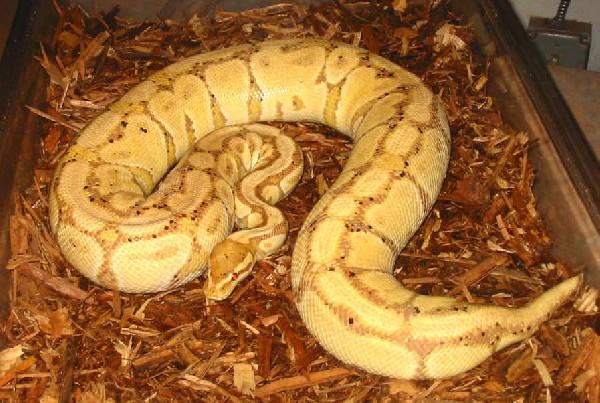 How Long Do Ball Pythons Live? My Pet Python