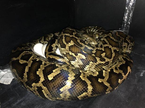 Burmese Python On Eggs