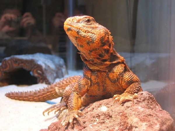 Uromastyx, uploaded by kingsnake.com user Gnuby