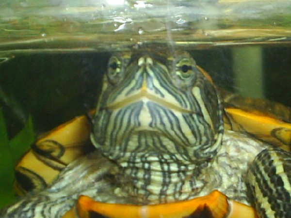 Red Eared Slider, uploaded by kingsnake.com user scripta_elegans