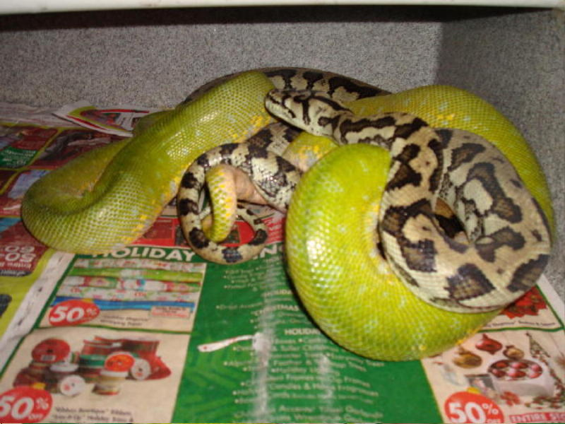 Kingsnake Com Photo Gallery Gt Reptiles And Amphibians