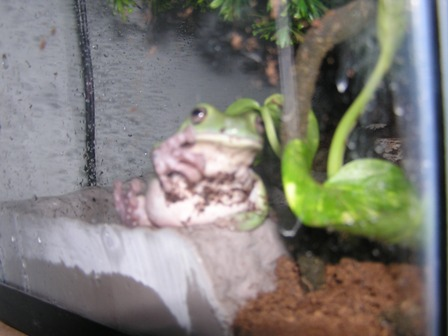 White's Tree Frog Just Chillin