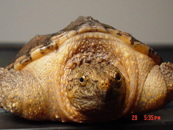 Snapping Turtle, uploaded by kingsnake.com user mr_phew
