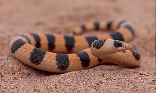 Sand Snakes