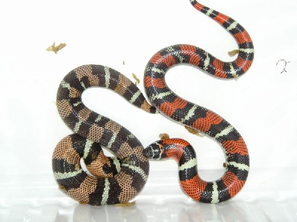 Lystrophis two colours one clutch