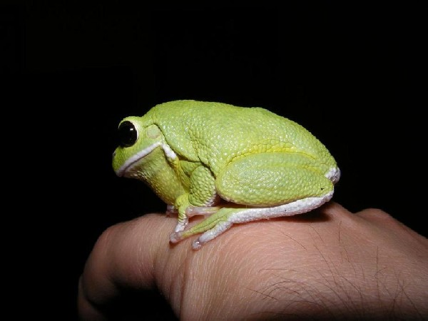 Barking Tree Frog, uploaded by kingsnake.com user saltycity
