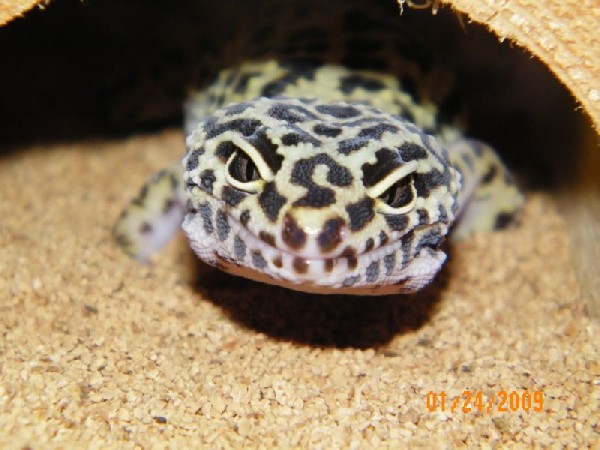 Leopard Gecko, uploaded by kingsnake.com user janniewolf