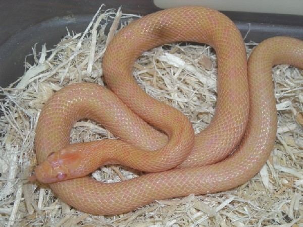 Rat snake, uploaded by kingsnake.com user Godfrey