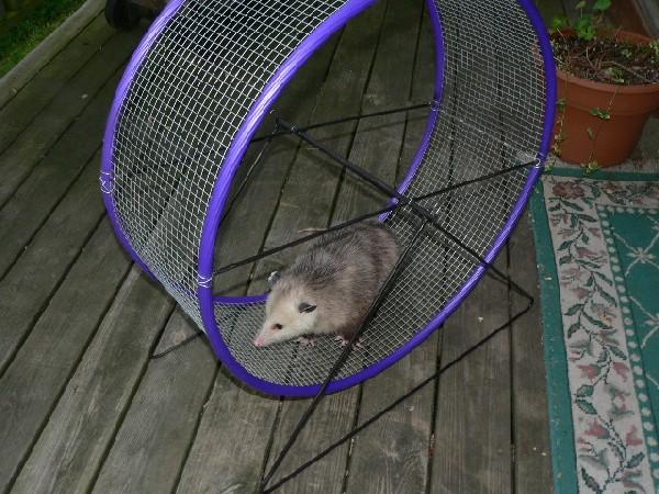 Opossum Exercise