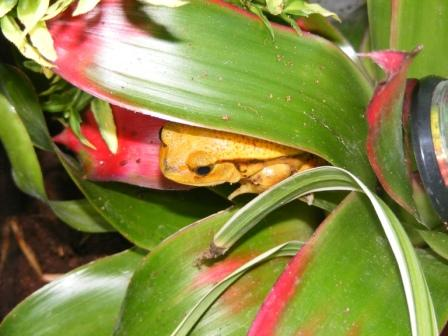 Tomato Frog, uploaded by kingsnake.com user alex_reid33