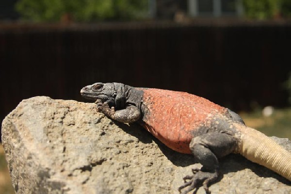 Chuckwalla, uploaded by kingsnake.com user ndokai