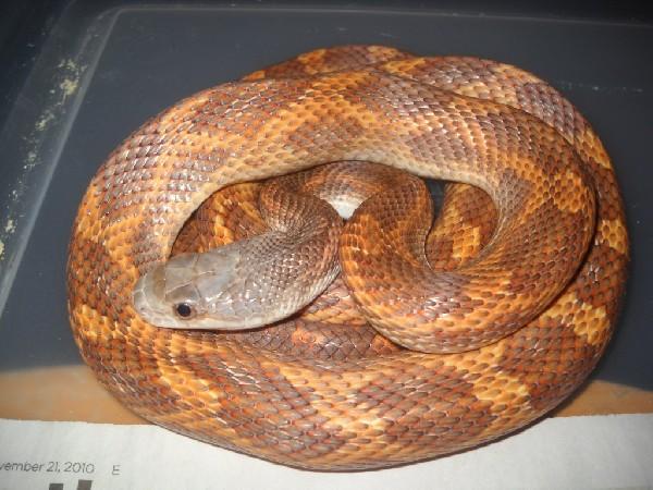 Orange Rat Snake