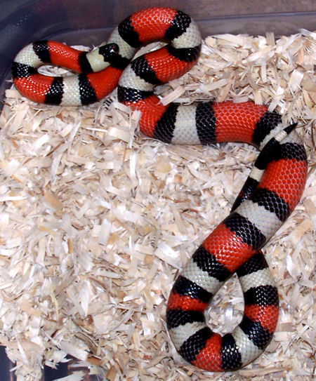 Female Pueblan Milk Snake