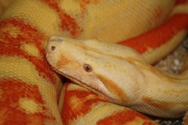 Albino Suri 1