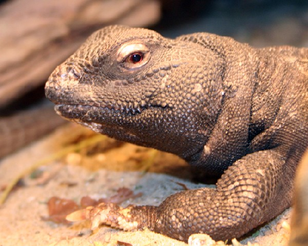 Uromastyx, uploaded by kingsnake.com user redtoad