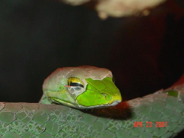 my vine snake