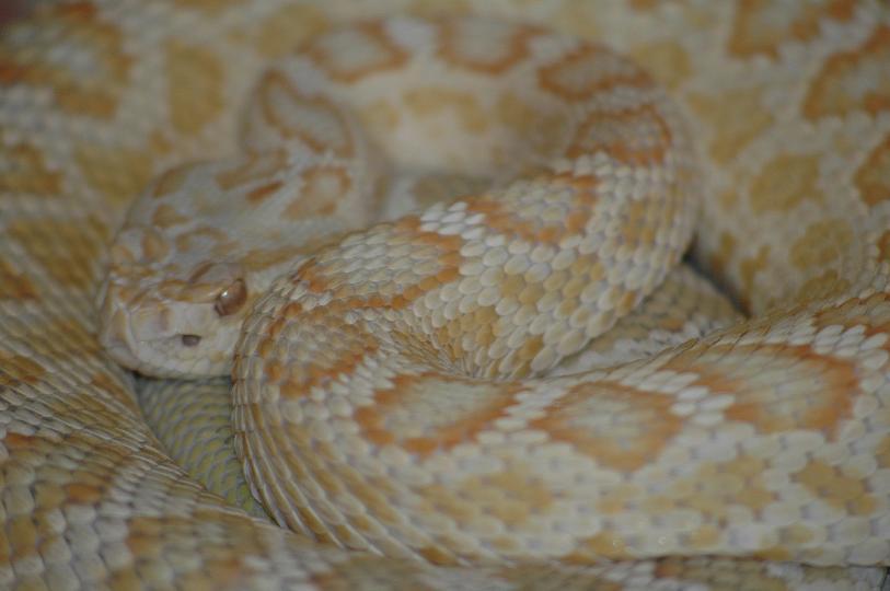 Albino male C. o. helleri, Southern Pacific Rattlesnake