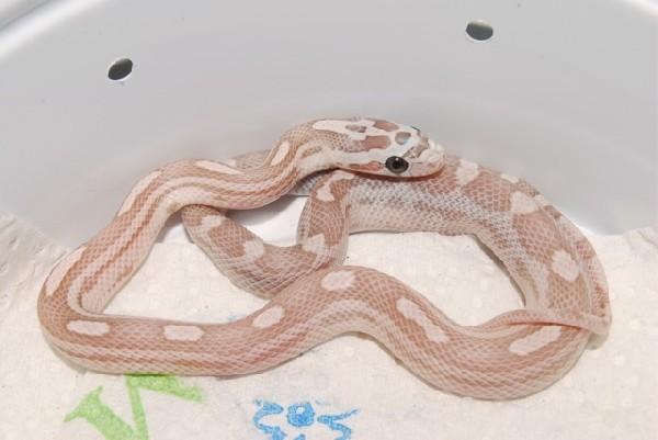 kingsnake com photo gallery > Corn Snakes > Ghost Motley