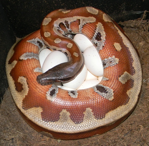Blood Python, uploaded by kingsnake.com user AJ01