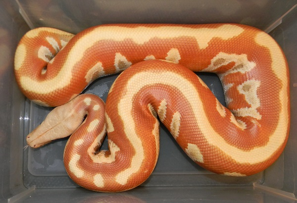 Albino Blood Female