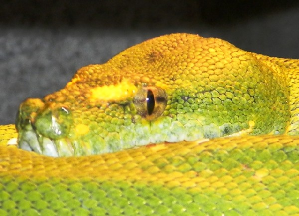 Biak Green Tree Python, uploaded by kingsnake.com user AJ01