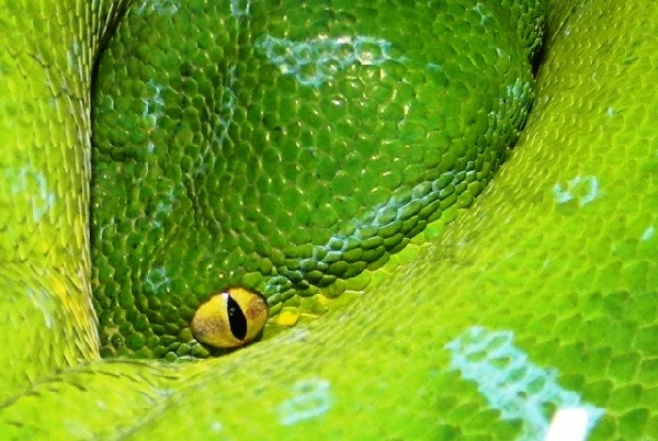 Green Tree Python, uploaded by kingsnake.com user AJ01