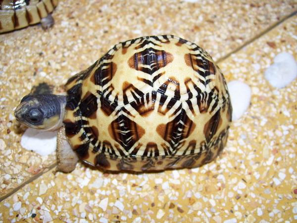 Radiated Tortoise, uploaded by kingsnake.com user shisuke